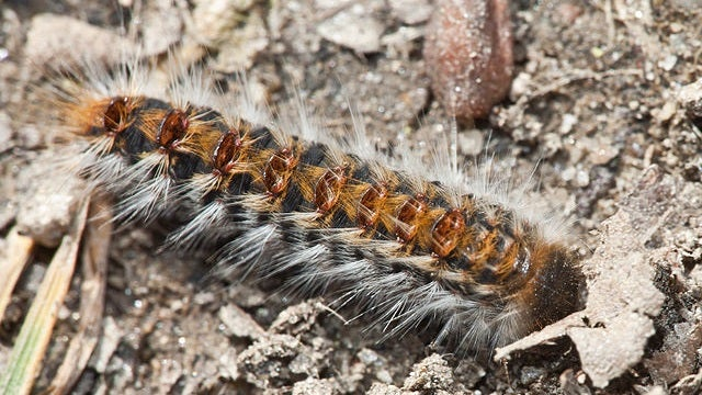 Here's A Weirdly Inspirational Story Of Caterpillar Torture