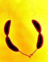 Bacterial Glue