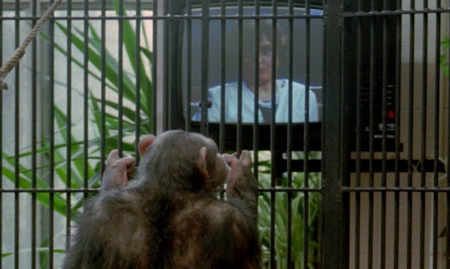 Spanish Zookeepers Accidentally Get Chimp Hooked on Human Porn