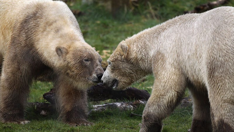 Polar Bears Become Best Bros, Put Each Other Before Hos