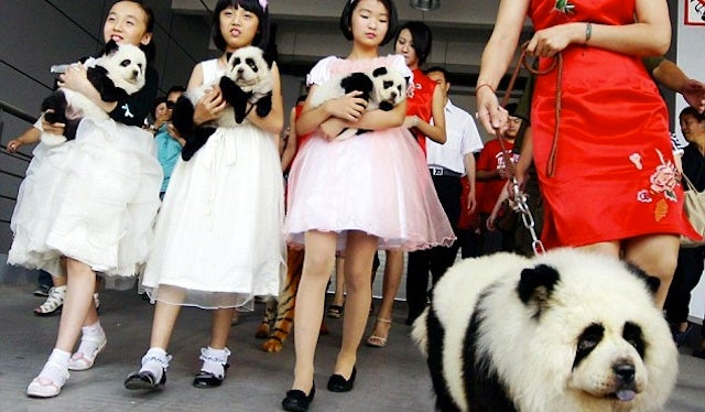 Dogs Are Being Dyed To Look Like Pandas