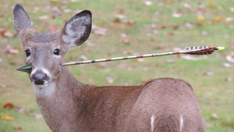 Wildlife officials successfully remove arrow from young deer's head