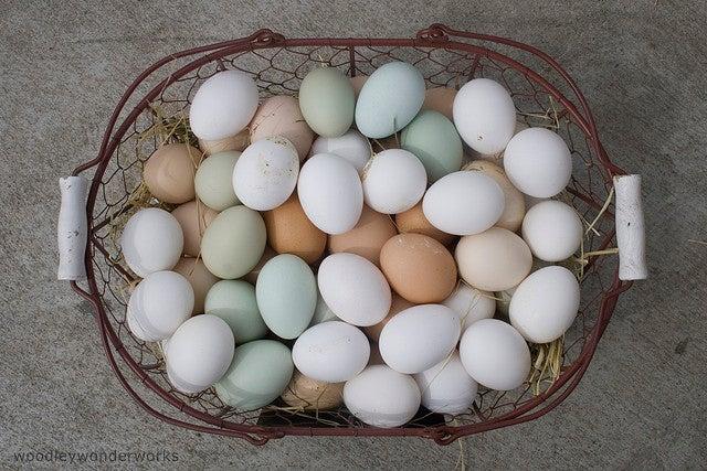 Kéket tojik a Ferenc József-tyúk
