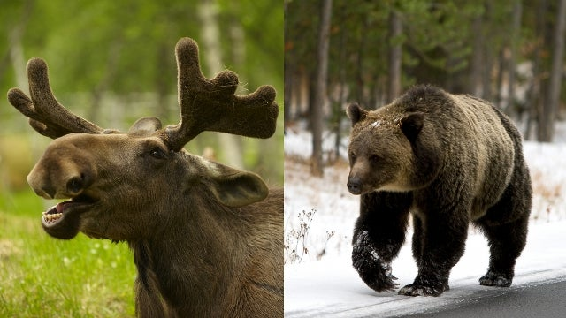 Swerving to Miss Moose, Norwegian Man Slams Into Bear