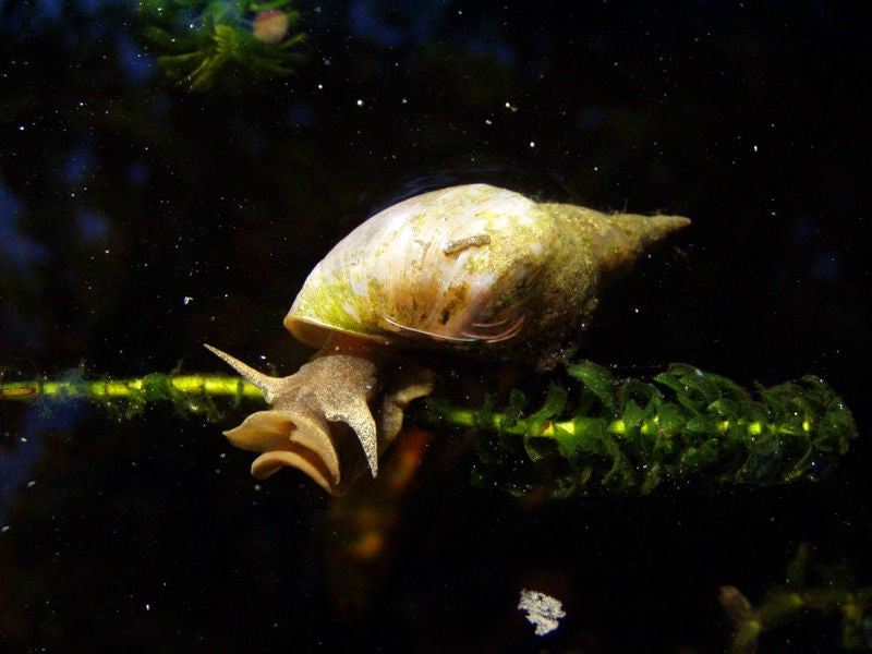 Meth-addicted snails prove that amphetamines are the ultimate memory-enhancer