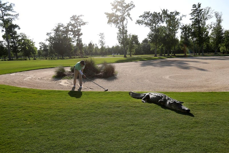 Here Are A Bunch Of Photos Of An Alligator At The Zurich Open