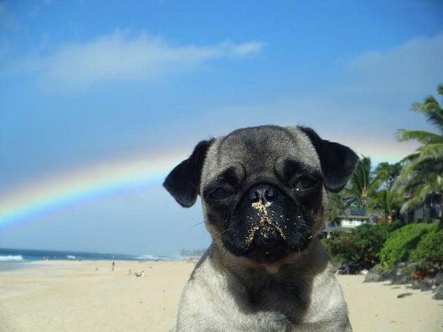 Spirit Animal Of The Week: Pelagia The Pug