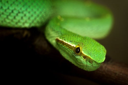 Is Snake Venom The New Botox Or Restalyne?