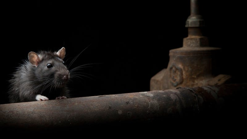 The Post-Sandy New York City Rat Invasion Everyone Said Wouldn't Happen Has Begun