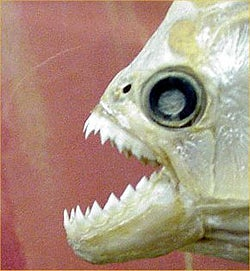 Is There A Piranha In Your Cubicle?