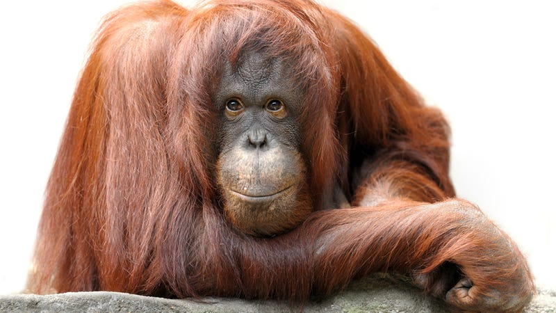 Orangutans Are Hooked on Technology Just Like the Rest of Us