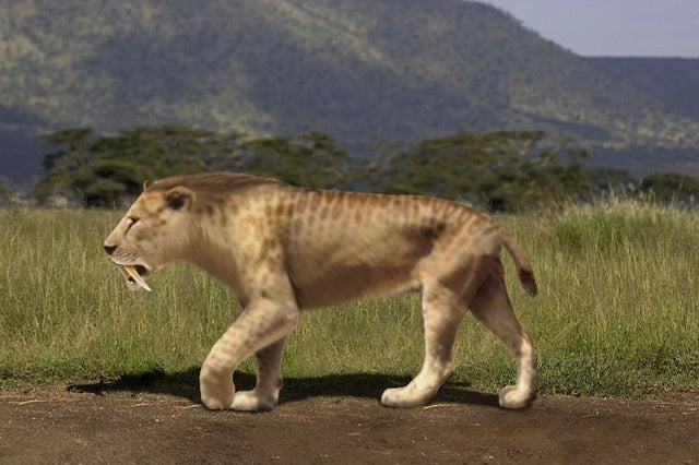 Were our earliest hominid ancestors hunted by saber-toothed tigers?