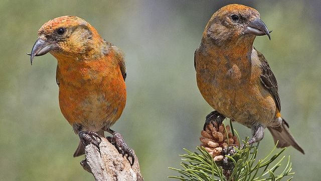 Songbirds have to adjust their hormone levels to deal with their children