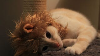 Lion Mane for your cat