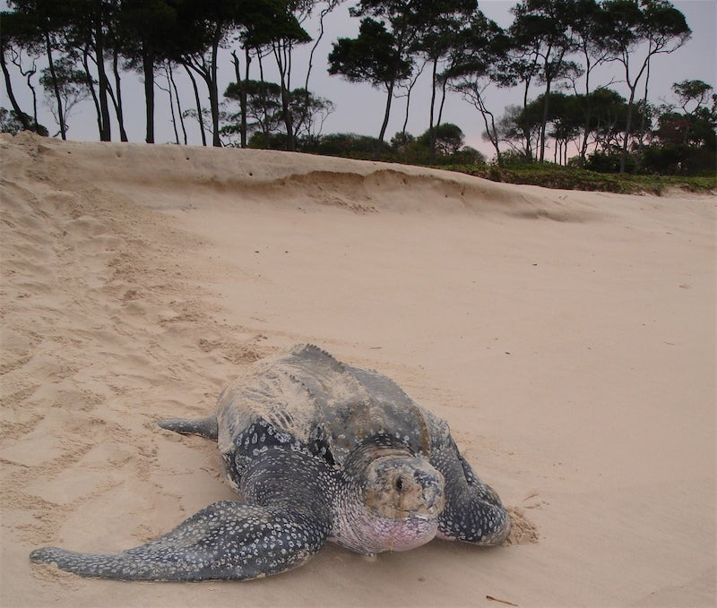 The incredible journeys of leatherback turtles