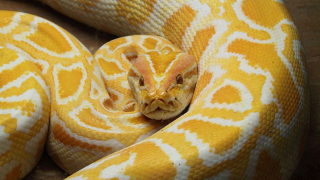 Police Officer Rescues Woman From Pet Python's Jaws
