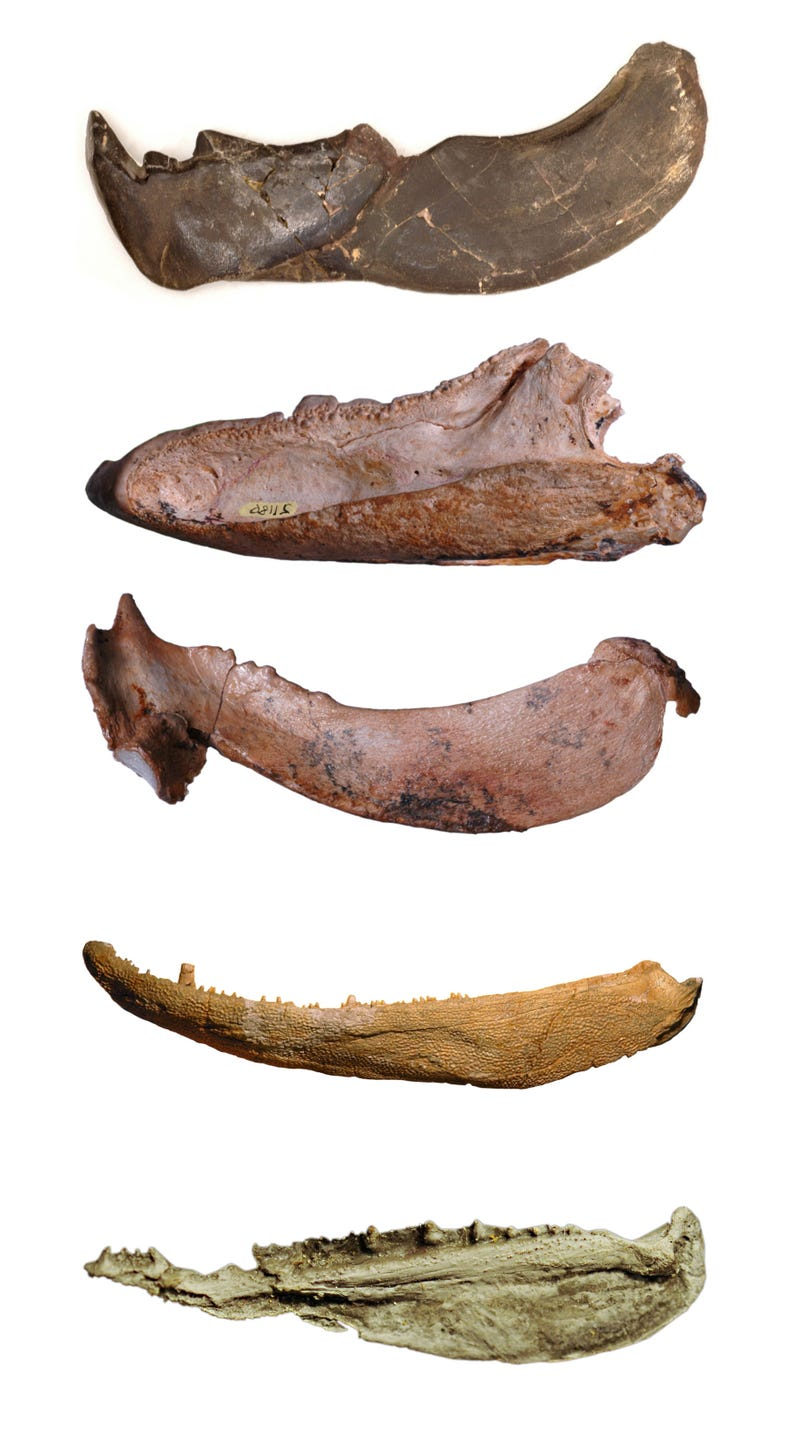 Jaws are very ancient, and possibly unnecessary