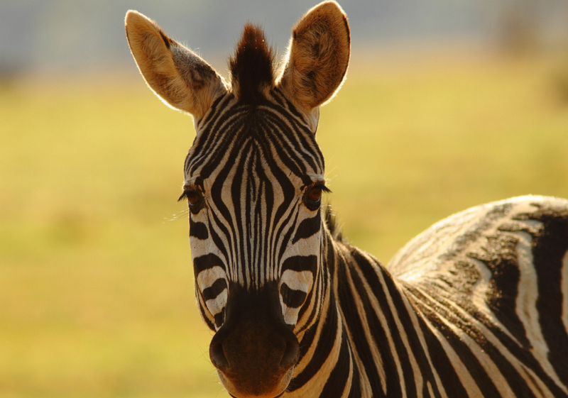 Science Watch: The Secret of the Zebra