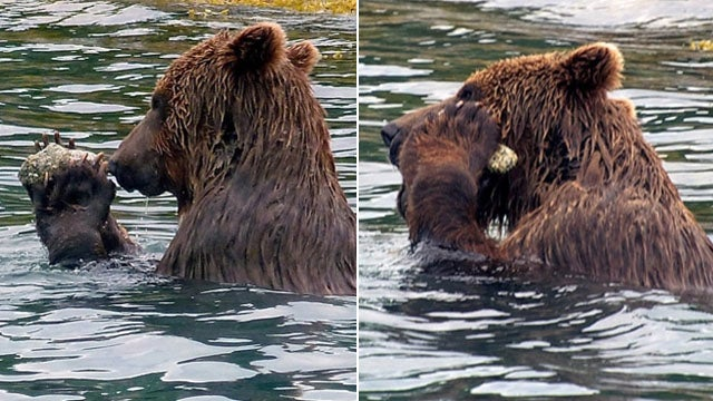 Teenage Brown Bear Invents 'Tool' for 'Exfoliating'