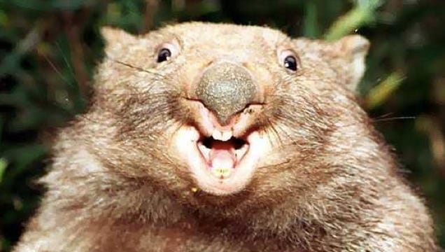 The Wombats Cubic Poop Is One Of Natures Weirdest Superpowers on Centimeter Cubes