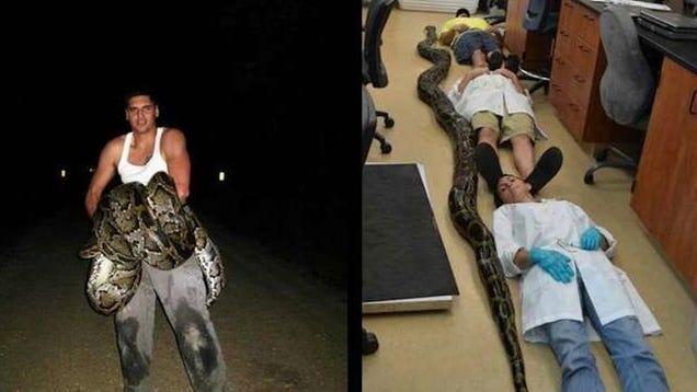 11 Foot Python 19-foot Python Captured
