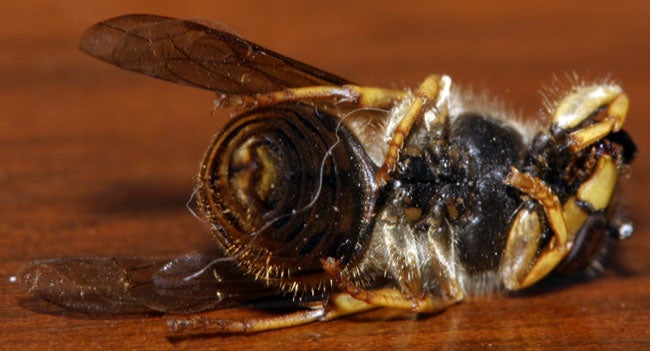Honeybee Death Mystery Solved