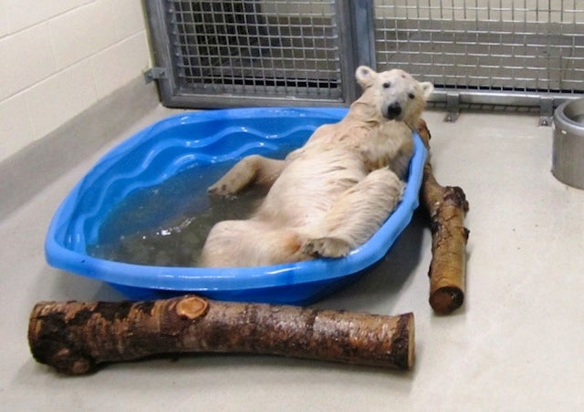 This Polar Bear Cub Has A Lot To Teach Us About Relaxation