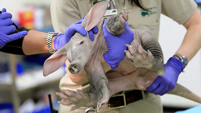 Welcome to the World, Baby Unsexed Aardvark