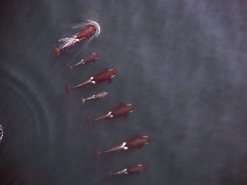 Drone Captures First-Ever Aerial Photos Of Nursing Orca Calf
