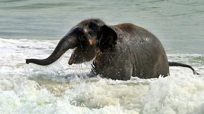 Here's an adorable baby elephant gallivanting around at the beach
