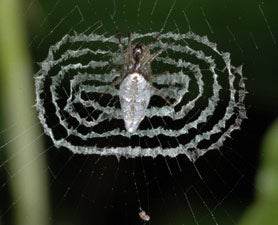 Ornamented Spider Webs Are Better At Luring Prey