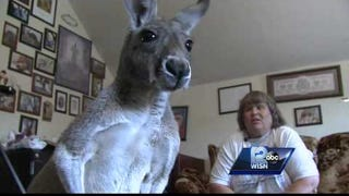 Wisconsin Town Vows to Drive Out Woman's 'Therapy' Pet Kangaroo