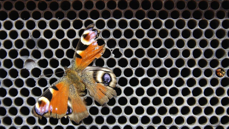 The wonders of lepidopteran roadkill