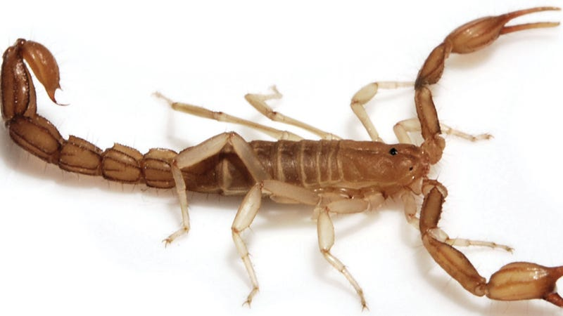 New scorpion species can fit on a dime... and hide pretty much anywhere