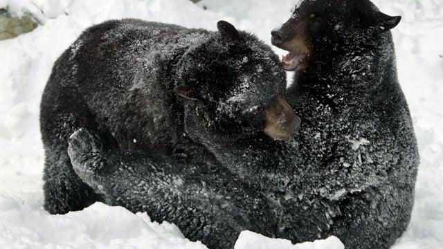 Will the Marijuana-Guarding Bears Be Killed?