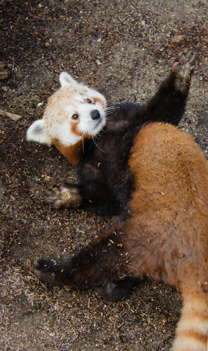 Exclusive Photos of the San Francisco Zoo's New Red Panda