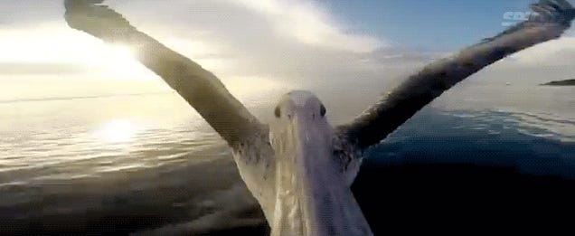 Watch a pelican flying from a camera on his beak