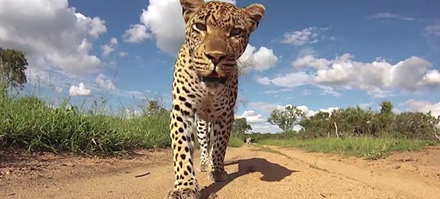 Leopard steals a camera because, screw you humans and your cameras