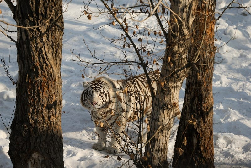 "White Tiger Mauls Man Who Offered Himself as Food in ""Support"""