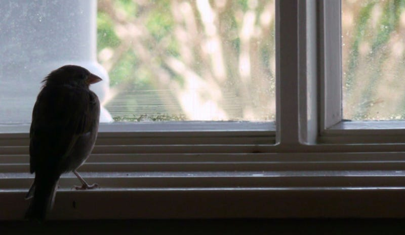 Up to a Billion Birds Die in the U.S. Annually Crashing into Windows