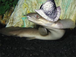 Dinosaur eel - photo#28