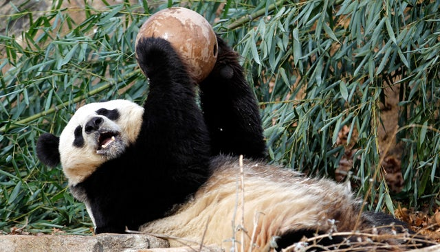 Ming Ming, World's Oldest Panda, Dies