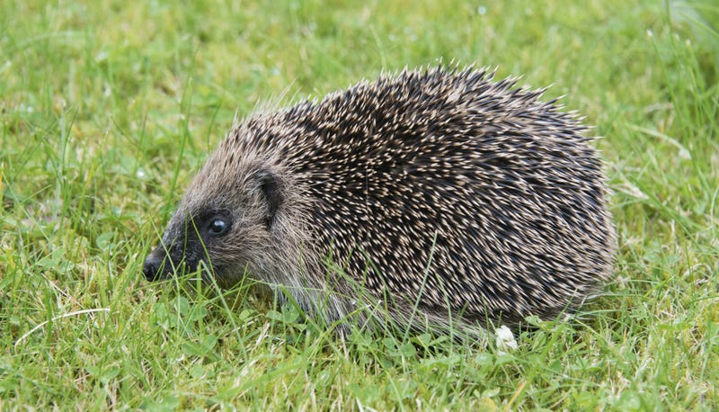 English Town Seeks 'Hedgehog Officer' to Create 'the Most Hedgehog Friendly Town in the UK'