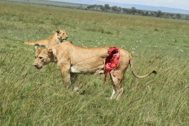 Wildlife Vets Treat A Lioness Who Was Gored By A Buffalo