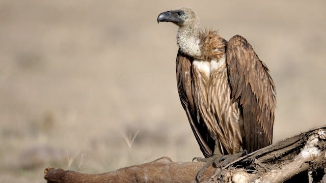 Police Are Training Vultures to Find Bodies