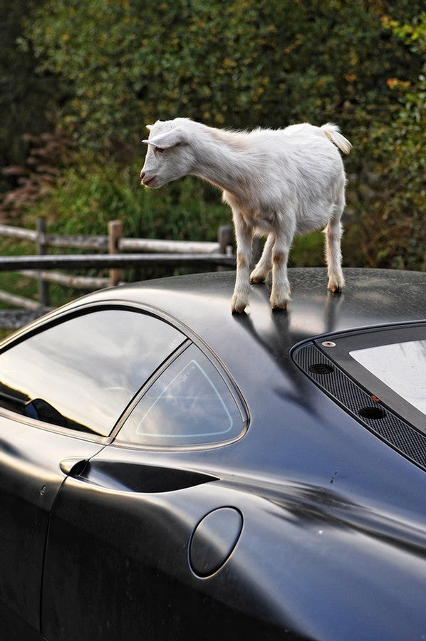 Damn Goats, Always Getting Their Hoof-marks On My Ferrari