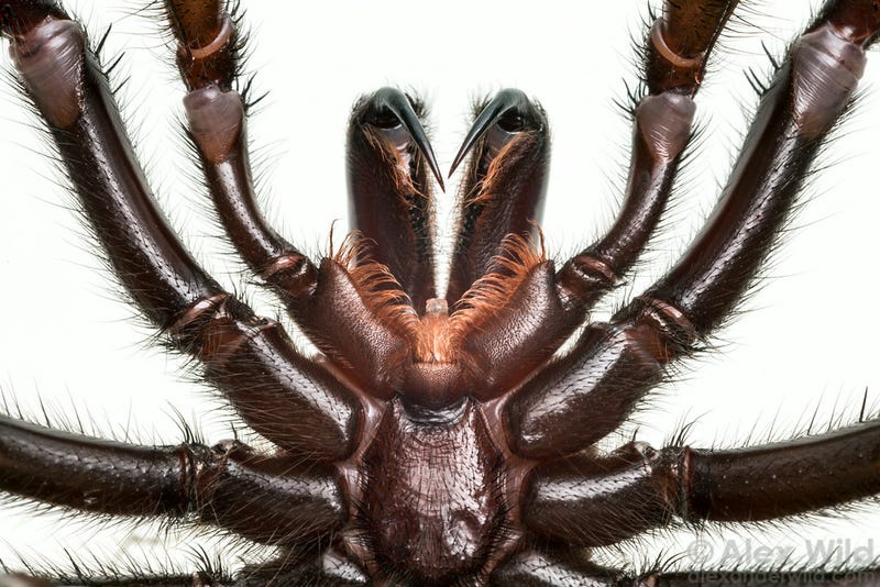 An Incredible Close-Up View Of One Of The World's Most Venomous Spiders