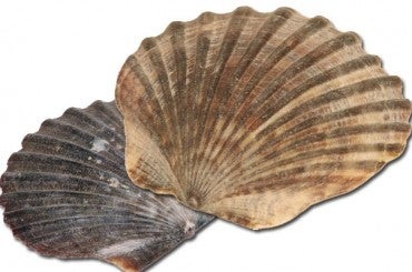 I Didn't Know There Was Anothah Way To Say It: Scallop Edition