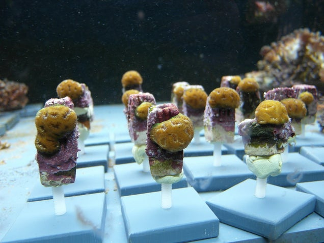Look At These Beautiful Little Corals Grown Like Popsicles In A Lab