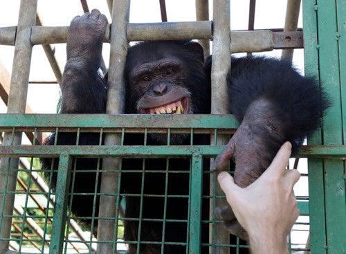 Smoking Chimp Joins Ranks Of Mammals That Should Not Be Smoking